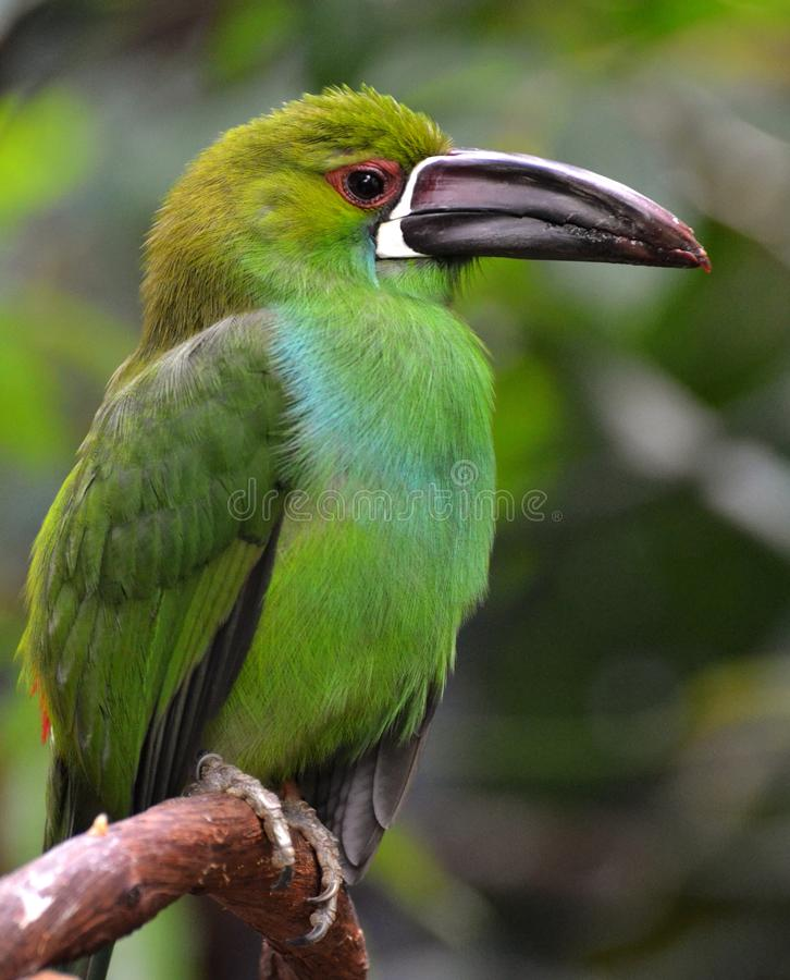 crimson rumped toucanet royaltyfria foton