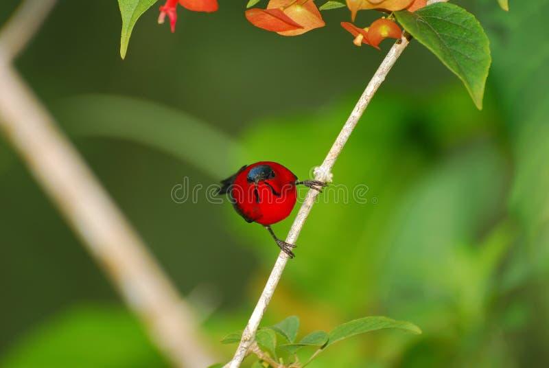 Download Crimson Sunbird Royalty Free Stock Images - Image: 18302259