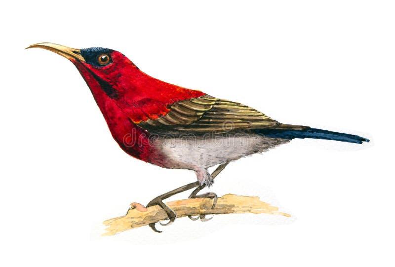 Crimson Sunbird royaltyfri illustrationer