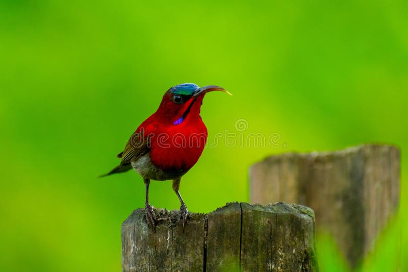 Crimson Sunbird. DescriptionThe crimson sunbird is a species of bird in the sunbird family which feed largely on nectar, although they will also take insects stock image