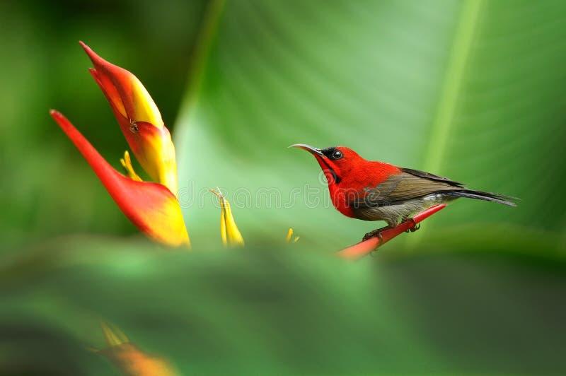 Crimson Sunbird royalty free stock photos