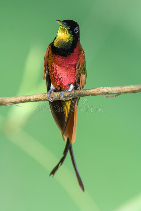 Download Crimson Topaz 5 stock photo. Image of gorget, perched - 60079182