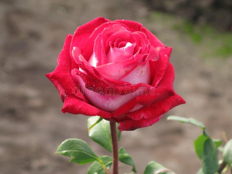 Crimson and white rose. Crimson and white flower rose royalty free stock photo