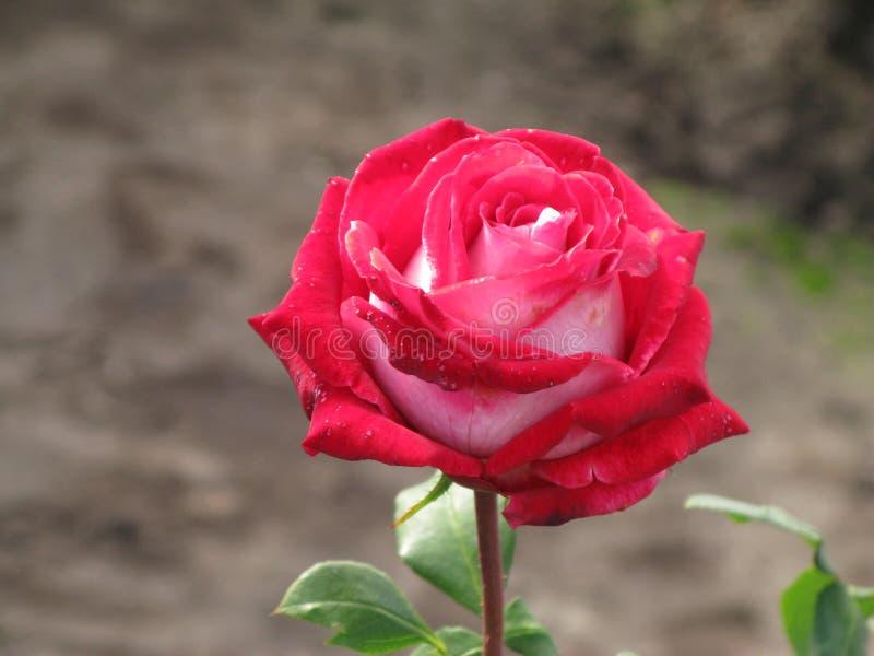 Crimson and white rose. Crimson and white flower rose stock images