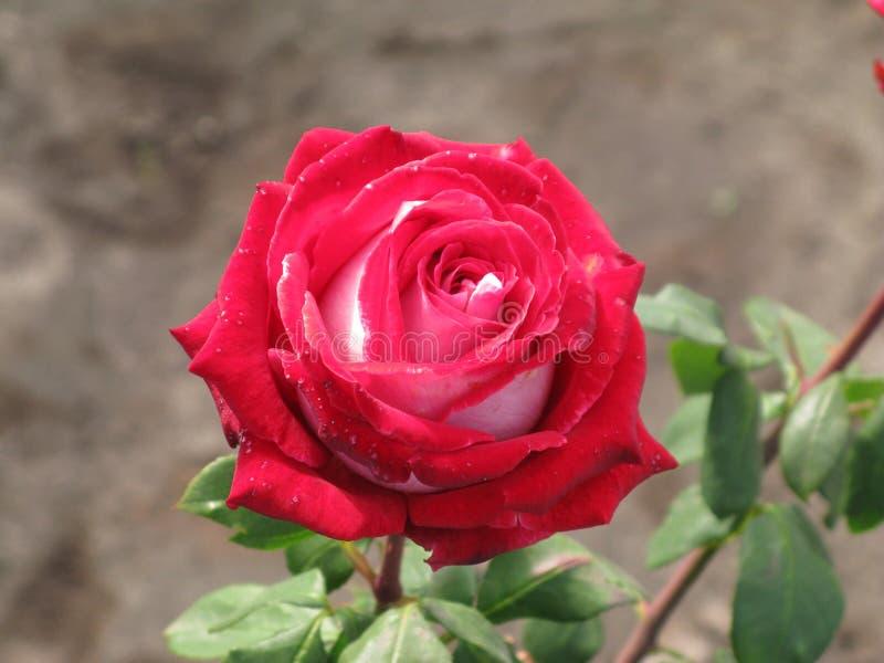 Crimson and white rose. Crimson and white flower rose stock photos