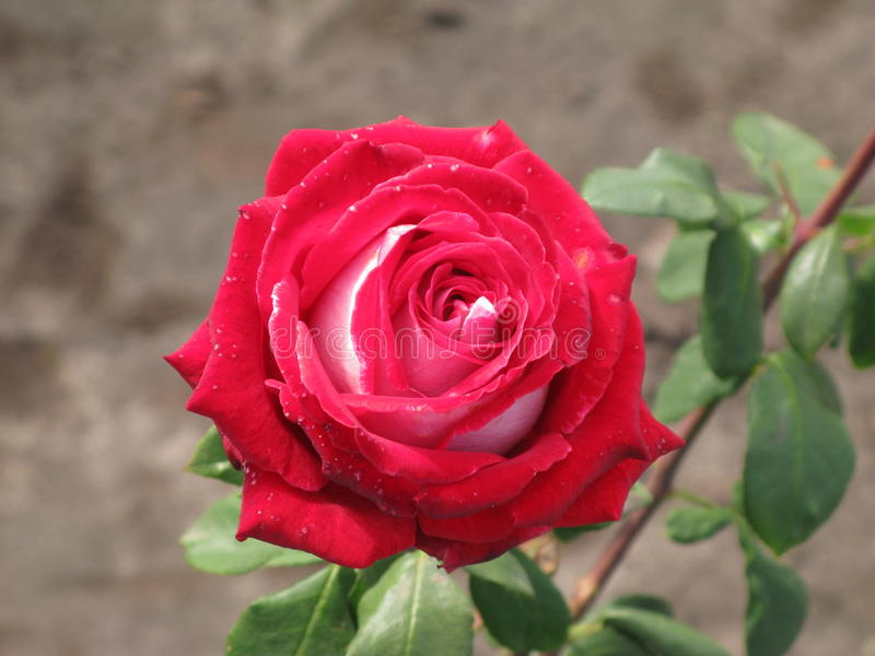 Crimson and white rose. Crimson and white flower rose stock photo