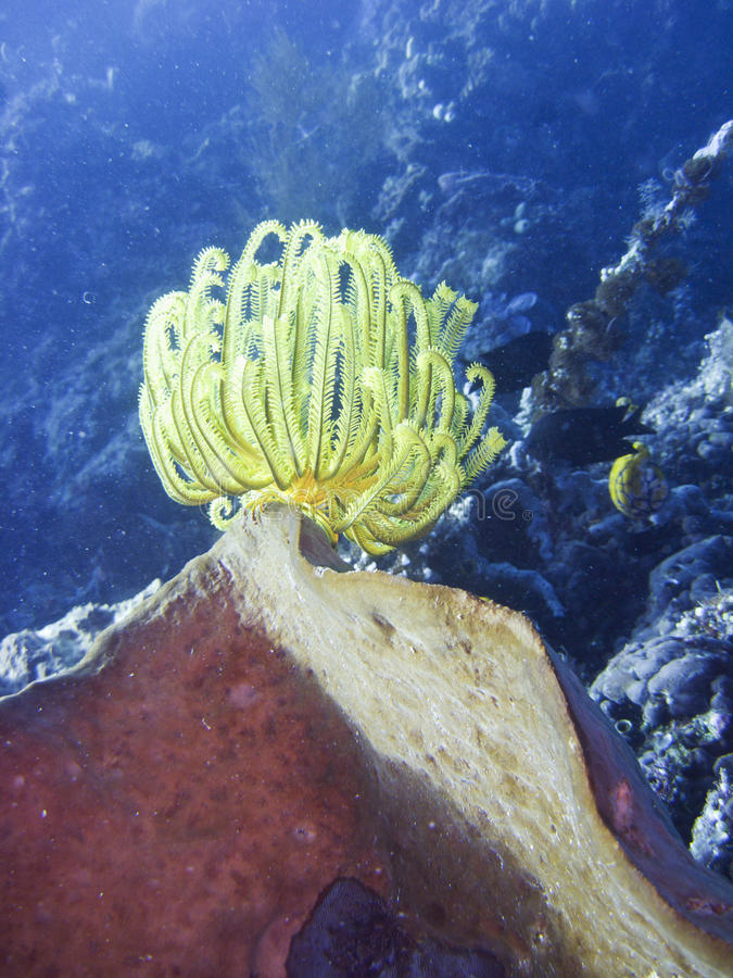 Download Crinoid stock image. Image of exotic, device, backgrounds - 32052323