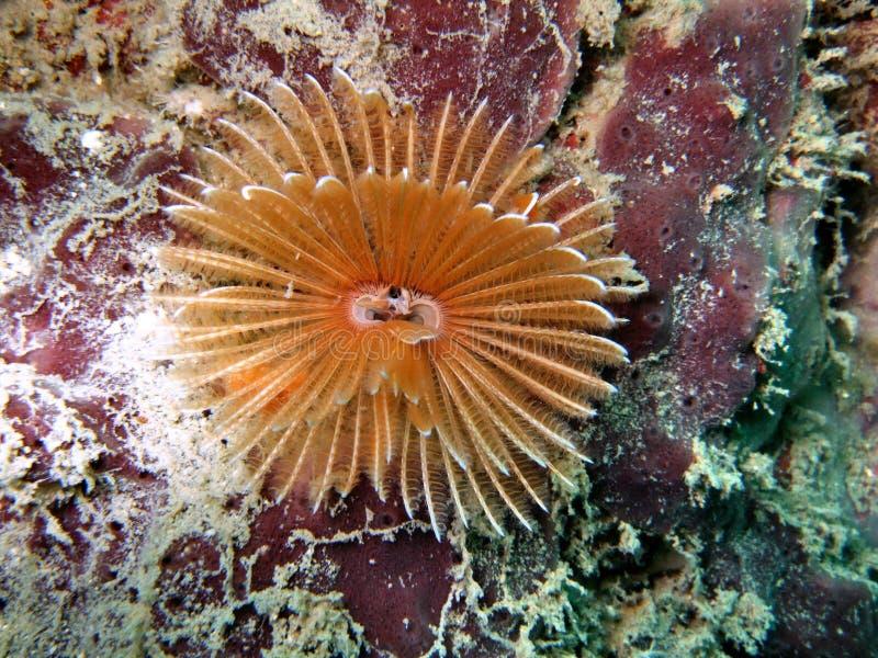 Download Crinoid Underwater Royalty Free Stock Image - Image: 4639846