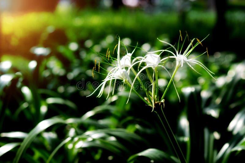 Crinum百合或海角百合花在庭院里,Crinum asiaticum 免版税库存图片
