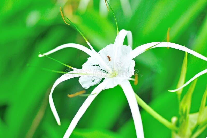 Crinum百合, Crinum asiaticum 库存照片