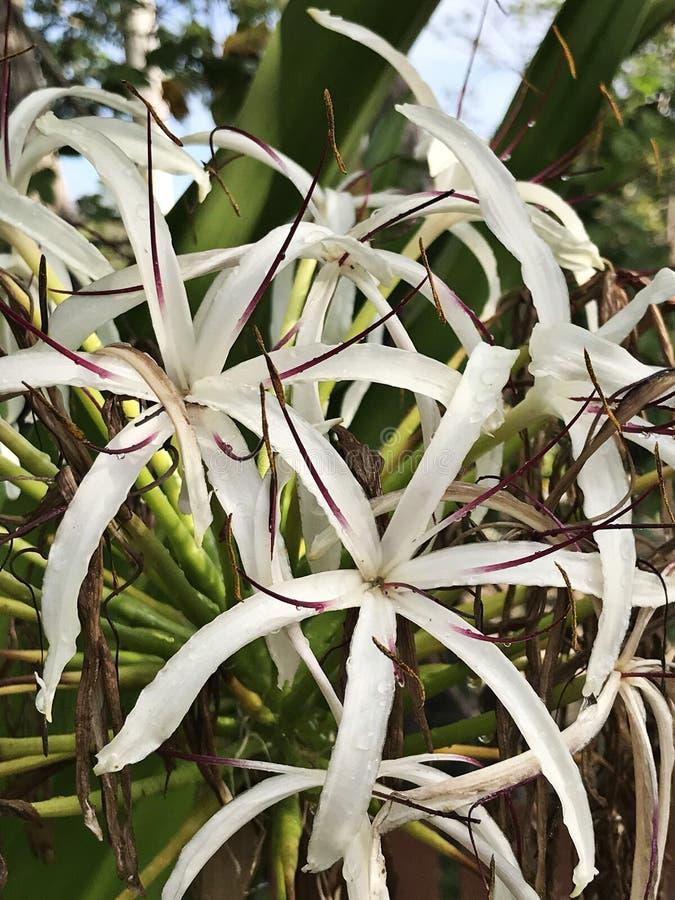 Crinum asiaticum或毒物电灯泡或者巨型crinum百合或盛大crinum百合或者蜘蛛百合开花 库存照片