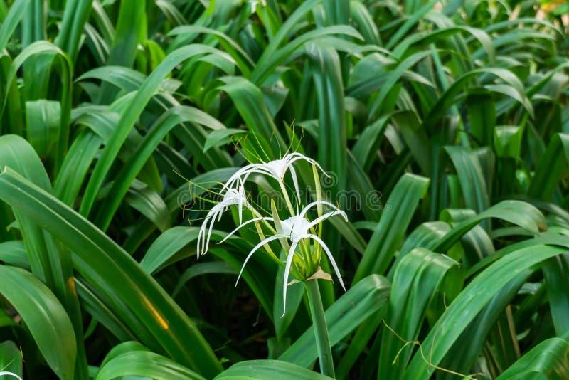 Crinum asiaticum花在庭院里 免版税图库摄影