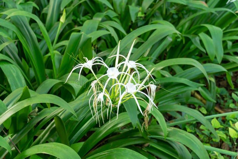 Crinum asiaticum花在庭院里 库存照片