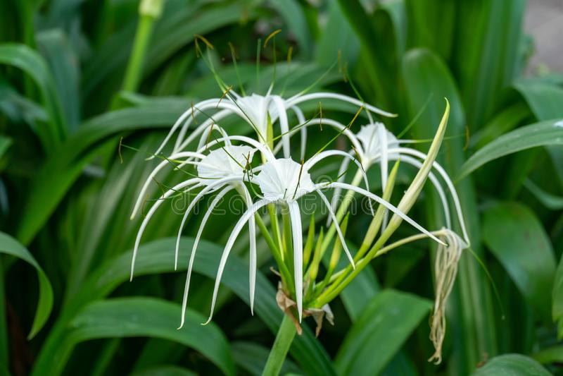 Crinum asiaticum花在庭院里 免版税库存图片