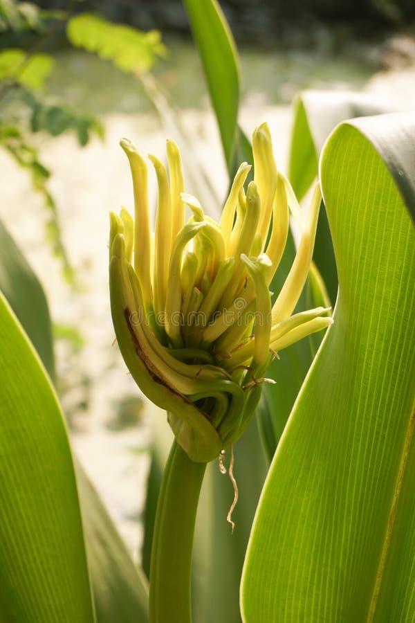 Crinum asiaticum花 免版税库存图片
