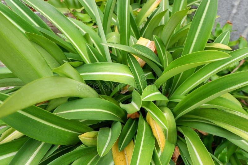 Crinum asiaticum 免版税库存照片