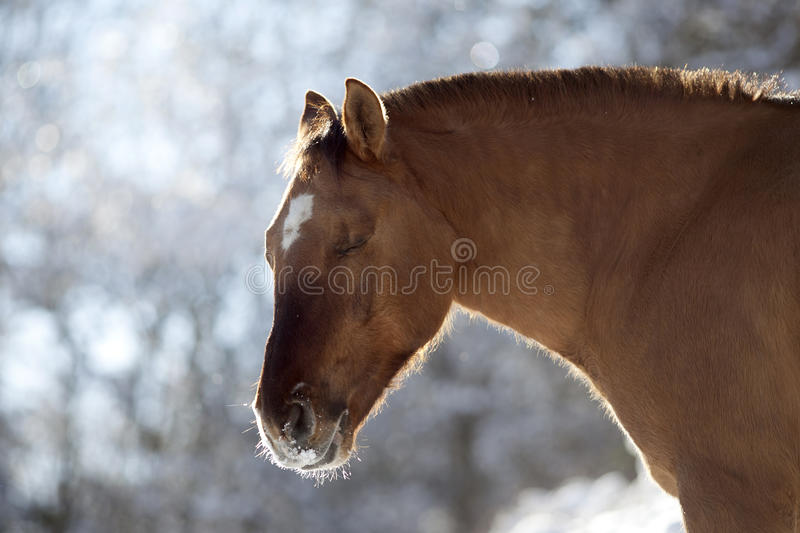 Criollo horse dun color in winter outside.  royalty free stock photography