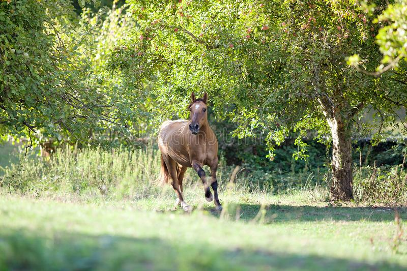 Criollo Horse run free in meadow. In summer royalty free stock image