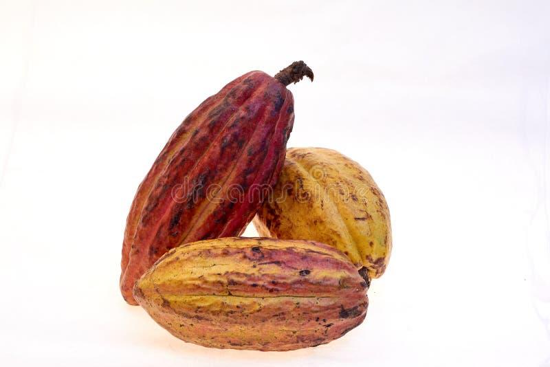 Criollo variety cocoa fruit. Cocoa from Venezuela, White background royalty free stock photo