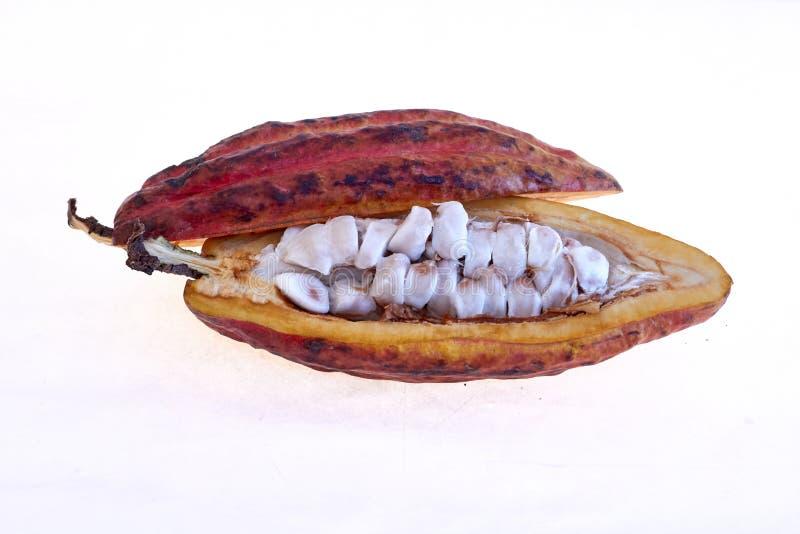 Criollo variety cocoa fruit. Open fruits with cocoa seeds, cocoa from Venezuela royalty free stock photos