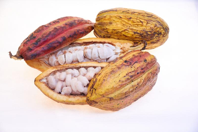 Criollo variety cocoa fruit. Open fruits with cocoa seeds, cocoa from Venezuela stock photo