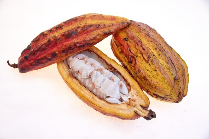 Criollo variety cocoa fruit. Open fruits with cocoa seeds, cocoa from Venezuela stock image
