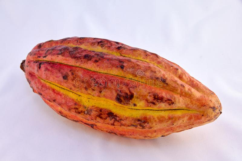 Criollo variety cocoa fruit royalty free stock images