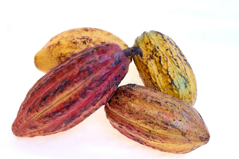 Criollo variety cocoa fruit. Cocoa from Venezuela, White background stock photography