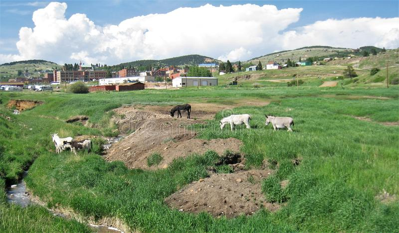 Cripple Creek Wild Donkeys. A herd of wild donkeys live in and around the small town of Cripple Creek, Colorado royalty free stock photography