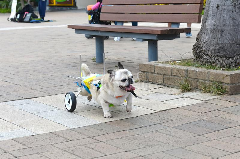 Cripple invalid handicapped dog on streets of Hong Kong. Love and care for pets concept. Cripple invalid handicapped dog on streets of Hong Kong. Love, help and royalty free stock photos