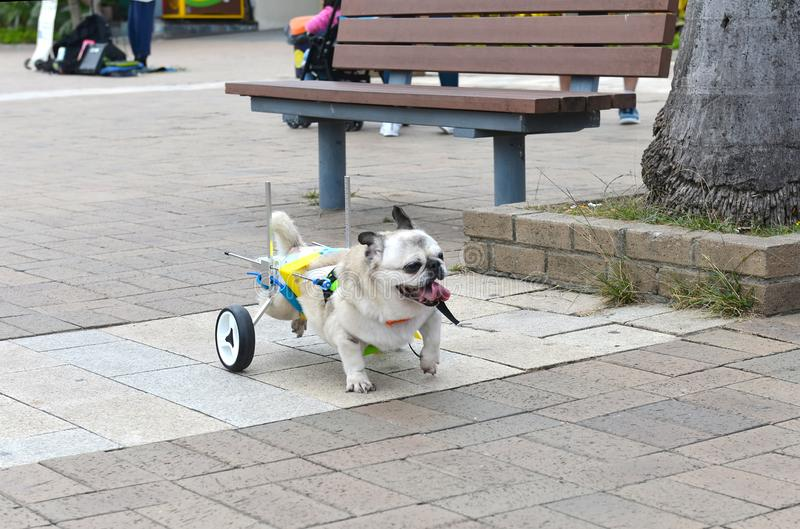 Cripple invalid handicapped dog on streets of Hong Kong. Love, help and care for pets concept. Fun concept stock photo