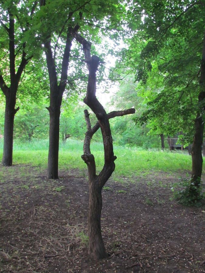 Cripple tree. Dry cripple tree among green foliage stock photos