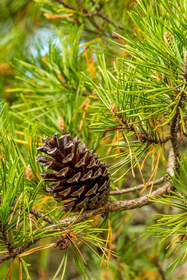 Crique de Cades de cône de pin images libres de droits