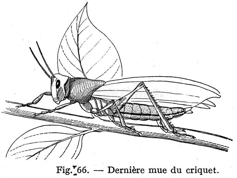 Criquet Free Public Domain Cc0 Image