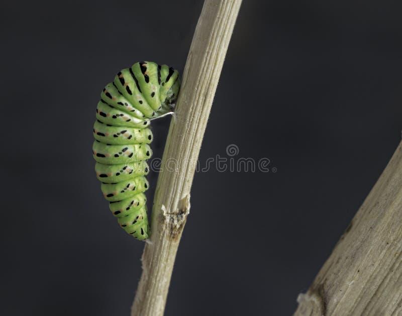 A crisálida da borboleta de Swallowtail uniu a uma vara seca foto de stock royalty free