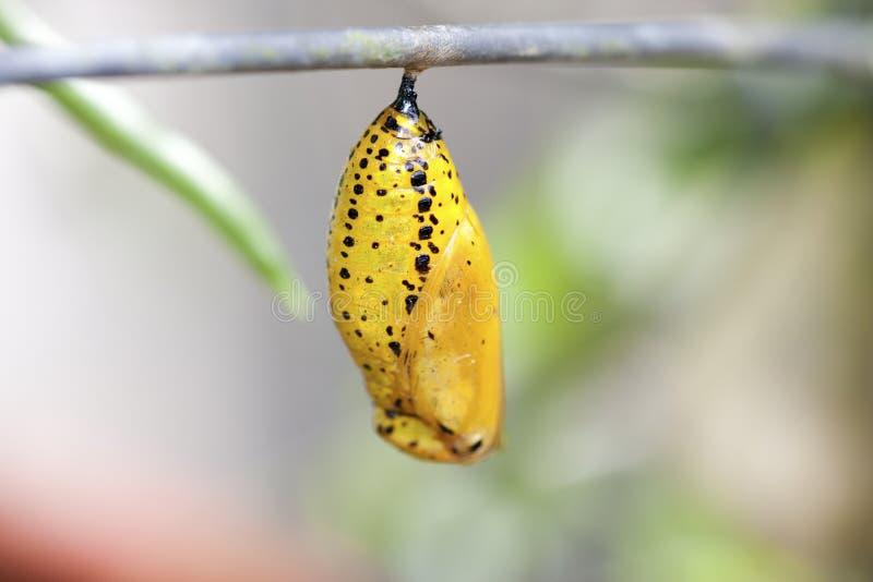 Crisálida de la mariposa imagen de archivo