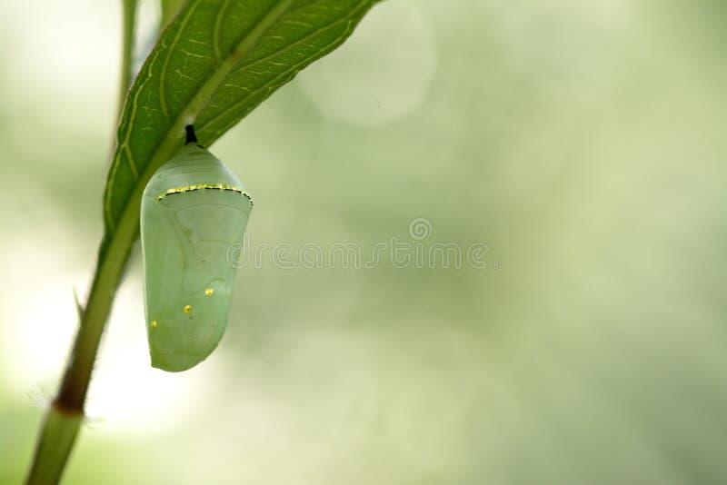 Crisálida de la mariposa de monarca, capullo hermoso foto de archivo libre de regalías
