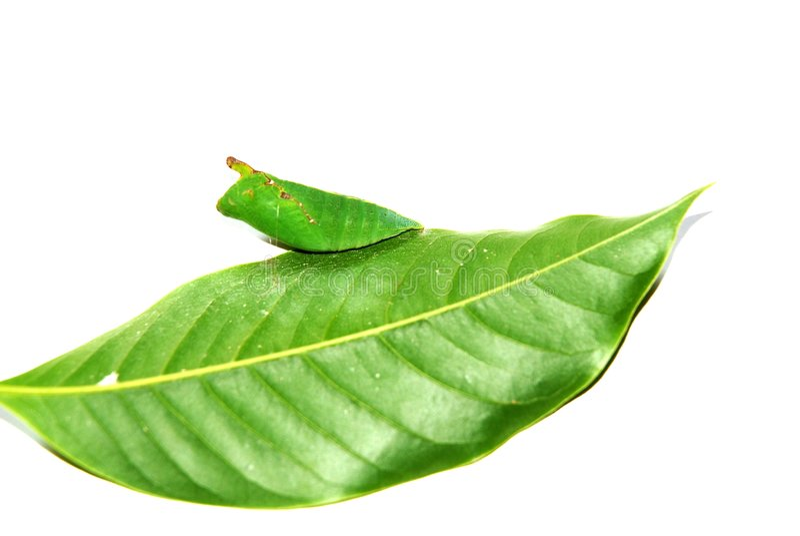 Crisálida na folha verde fotografia de stock