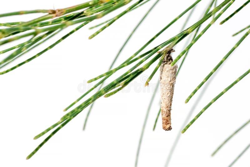 Crisálidas de un insecto en un pino de la hoja imagen de archivo