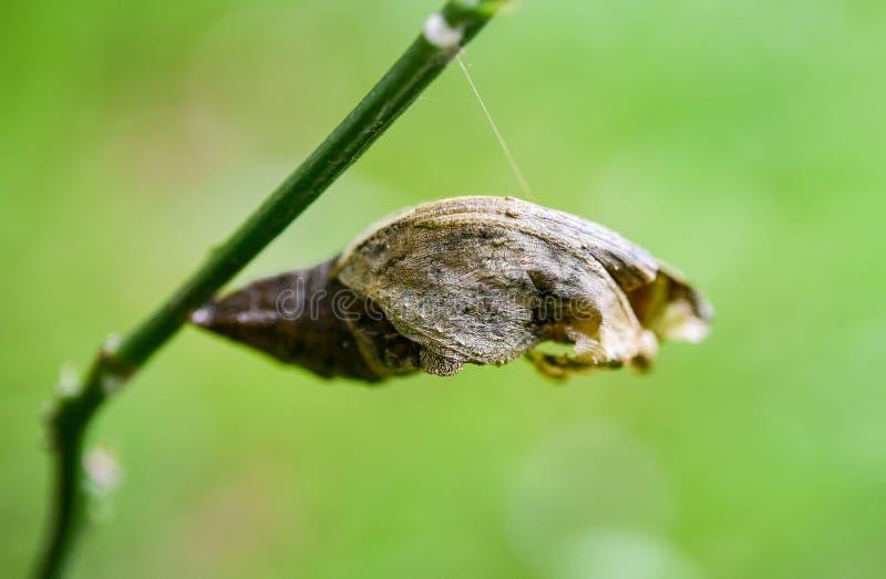 Crisálidas del insecto en el tronco del árbol foto de archivo