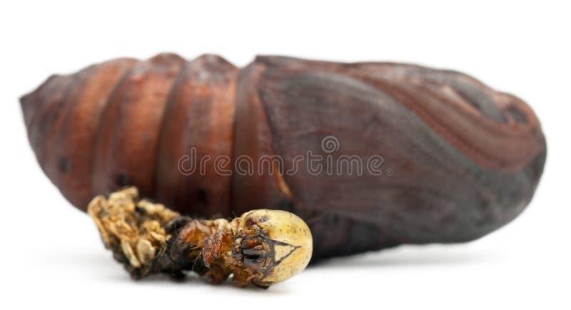 Crisálidas gigantes da traça do pavão removidas do casulo imagens de stock