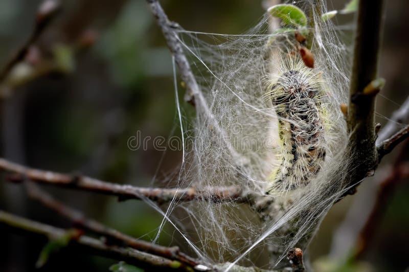 Crisálidas tempranas de la polilla blanca del satén en la web de seda imagen de archivo libre de regalías
