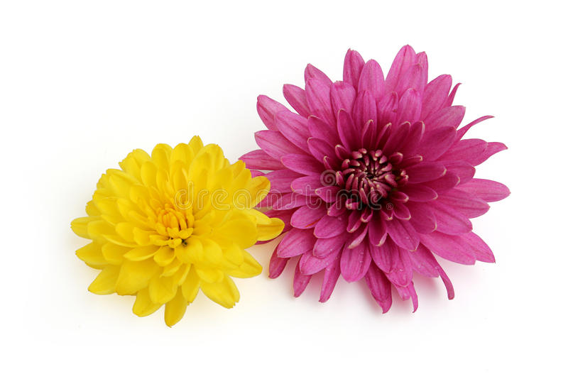 Crisântemo amarelo e cor-de-rosa foto de stock royalty free