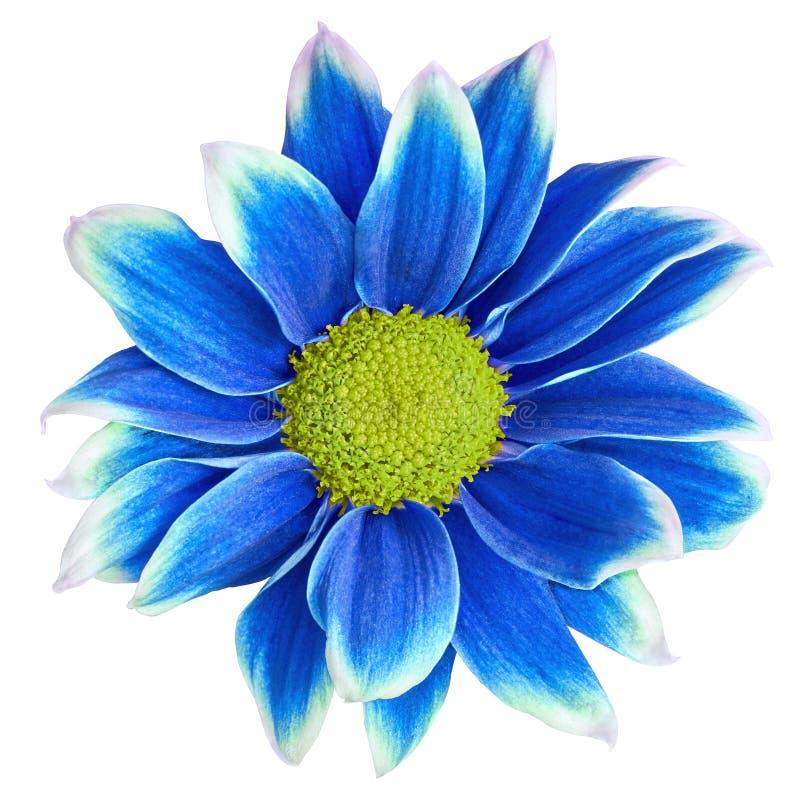 Crisântemo azul-branco da flor interna com o centro amarelo, isolado no fundo branco Close-up fotos de stock royalty free