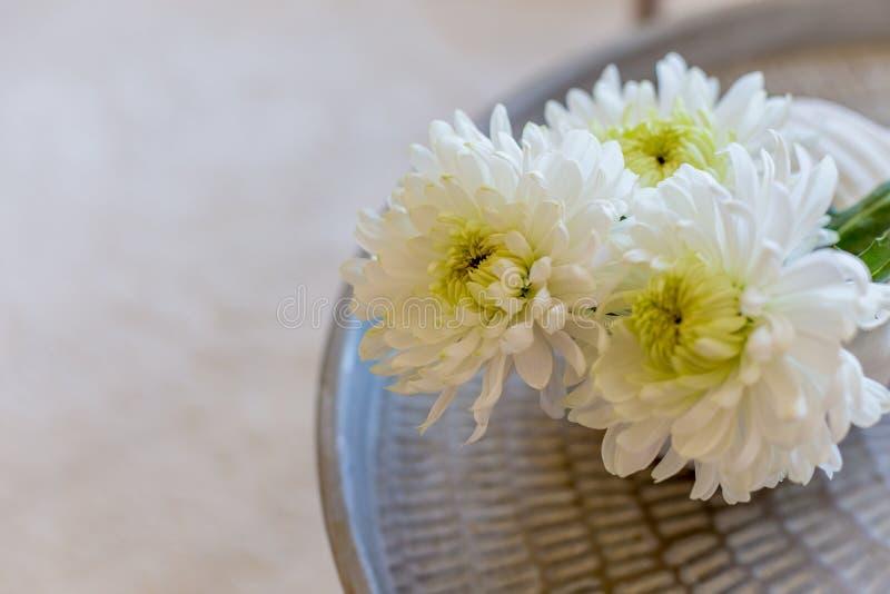 Crisântemo branco em um vaso foto de stock royalty free