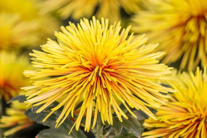 Crisântemo Chispa, flor do amarelo-bronze com seu pe bonito do contraste imagem de stock royalty free