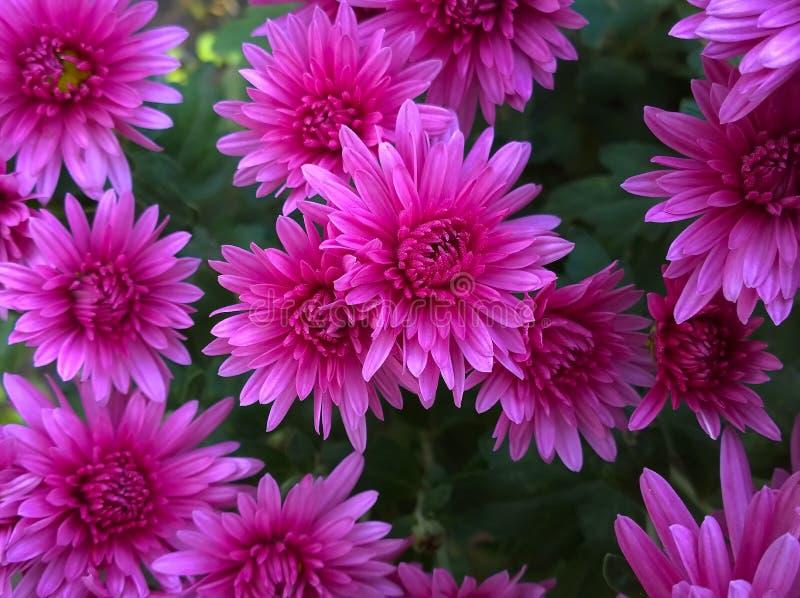 Crisântemo com pétalas cor-de-rosa imagem de stock