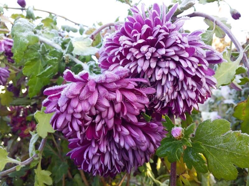 Crisântemo congelado bonito no jardim do outono imagens de stock