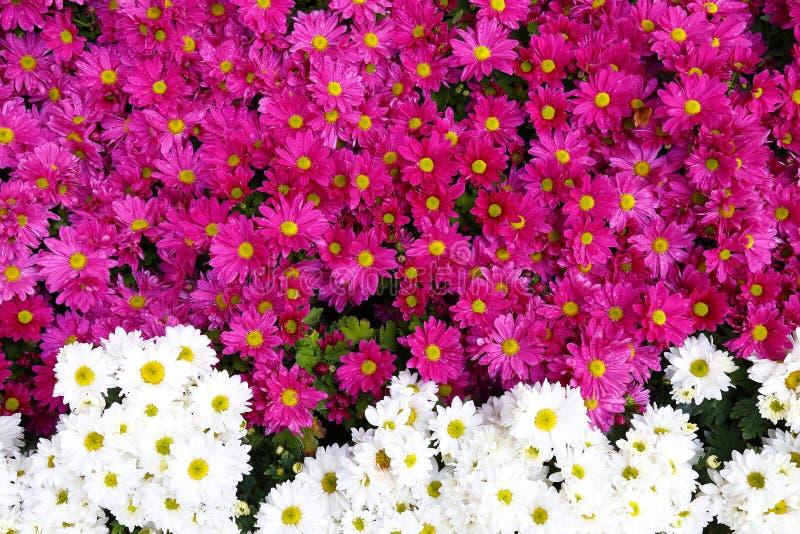 Crisântemo cor-de-rosa e branco foto de stock