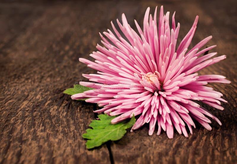Crisântemo cor-de-rosa em um fundo de madeira fotos de stock